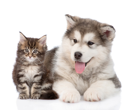 alaskan malamute dog and maine coon cat together. isolated on white background Stockfoto