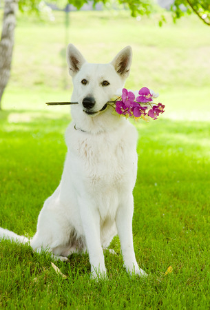 german swiss: Purebred White Swiss Shepherd with a flower in its mouth