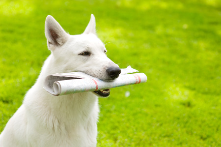 Purebred White Swiss Shepherd with newspaper on green grass 版權商用圖片