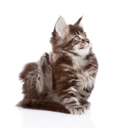 fleas: small maine coon cat scratching isolated on white background