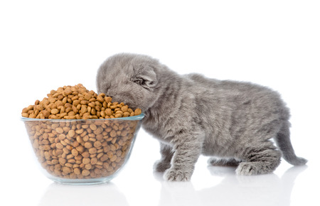 kitten eating food from a large bowl. isolated on white background