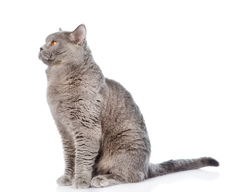 sit studio: Big scottish cat sitting in profile. isolated on white background