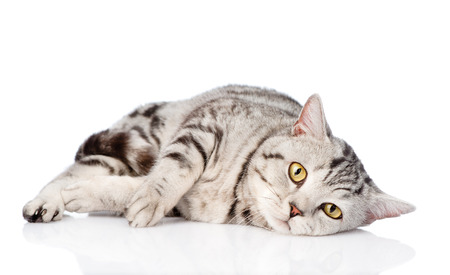 Sad scottish cat looking at camera. isolated on white background Imagens