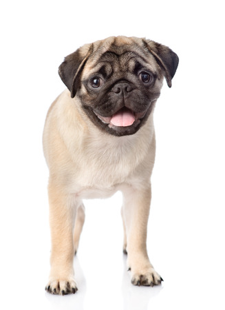 carlin: pug puppy standing in front. isolated on white background