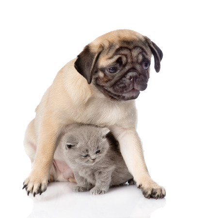 carlin: Pug puppy with scottish cat sitting together. Focus on cat. isolated on white background