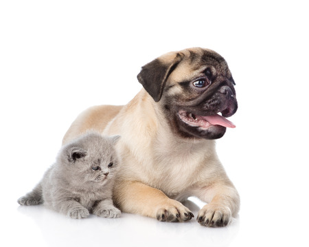 carlin: Scottish cat lying with pug puppy. isolated on white background