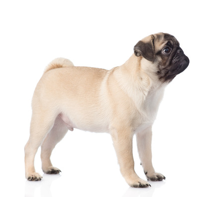carlin: pug puppy standing in profile. isolated on white background Stock Photo