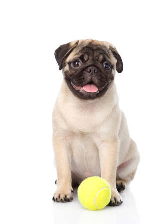 carlin: pug puppy with tennis ball. isolated on white background