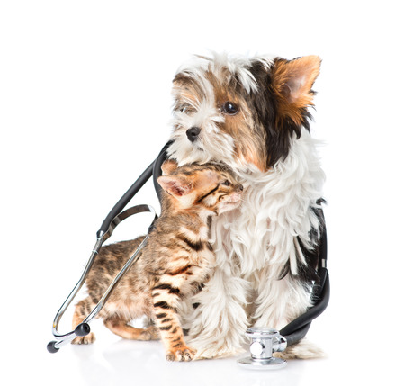 Tiny bengal cat and Biewer-Yorkshire terrier puppy with stethoscope on their neck. isolated on white background photo