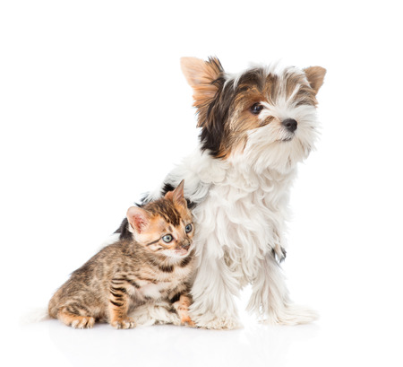 small white dog: Biewer-Yorkshire terrier puppy and bengal kitten sitting together. isolated on white background