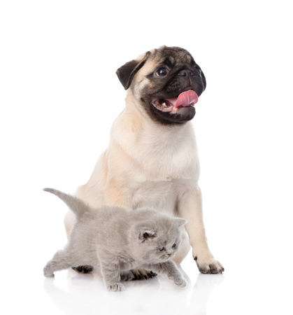 carlin: Newborn kitten and pug puppy together. isolated on white background
