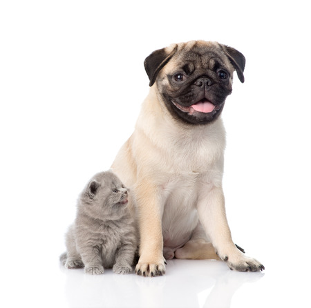 carlin: Funny pug puppy sitting with tiny scottish cat together. isolated on white background