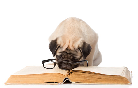paw smart: pug puppy reading a book with glasses. isolated on white background Stock Photo