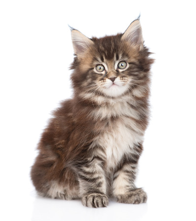 coon: Portrait small maine coon kitten. isolated on white background Stock Photo
