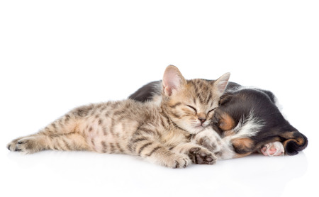kitten: kitten and basset hound puppy sleeping together. isolated on white background