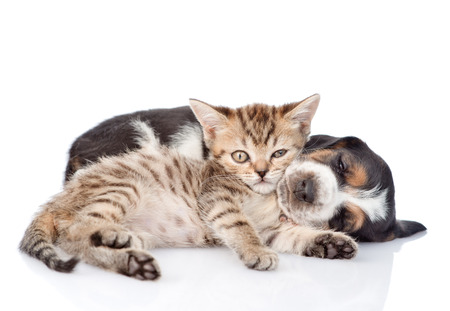 Tiny kitten and sleeping basset hound puppy together. isolated on white background 写真素材