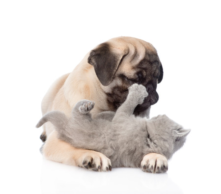 carlin: Pug puppy playing with tiny kitten. isolated on white background