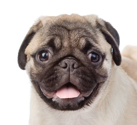 carlin: Closeup muzzle pug puppy. isolated on white background