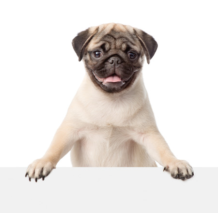 Pug puppy peeking from behind empty board. isolated on white background