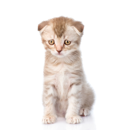 悲しいフラップ耳子猫。白い背景に分離