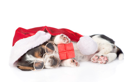 cute basset hound puppy with red gift box and santa hat. isolated on white background photo