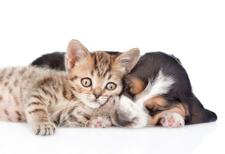 Cute kitten lying with basset hound puppy. isolated on white background photo