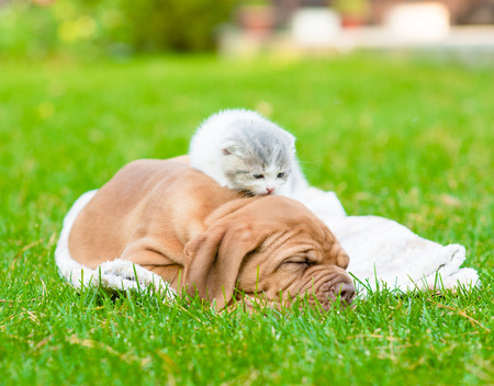 Newborn kitten lying with sleeping Bordeaux puppy on green grass photo