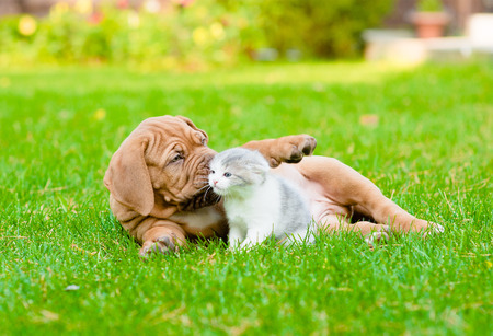 lying on grass: Bordeaux puppy dog playing with kitten on green grass