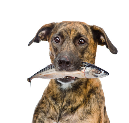 dog holding fish  in its mouth. isolated on white background