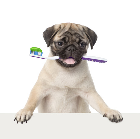 Dog with a toothbrush peeking from behind empty board. isolated on white background Imagens