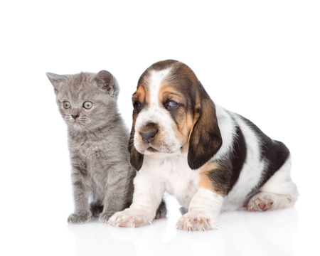 Kitten and basset hound puppy standing together. isolated on white background photo