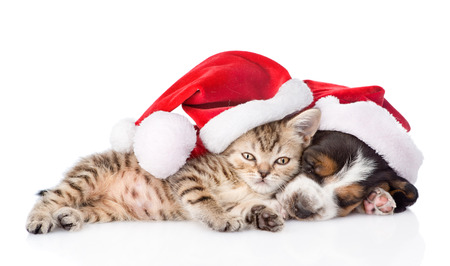 basset hound puppy and tiny kitten in red santa hat. isolated on white background photo