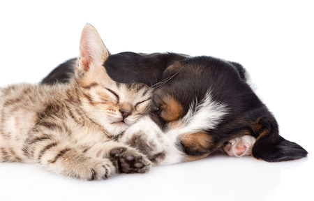 sleeping basset hound puppy hugs tiny kitten. isolated on white background