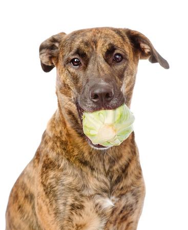 Dog holding cabbage. Isolated on white background photo