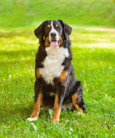 sennenhund: Portrait Berner Sennenhund dog on green grass