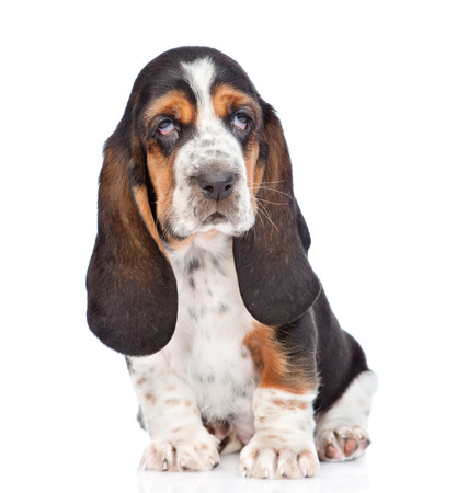 Portrait young basset hound puppy sitting in front. isolated on white background Stock Photo