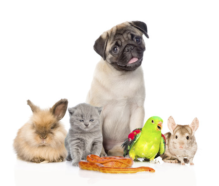 carlin: large group of pets along. Isolated on white background