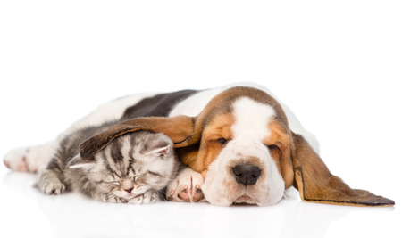 cat sleeping: Tabby kitten sleeping, covered ear basset hound puppy. isolated on white background Stock Photo