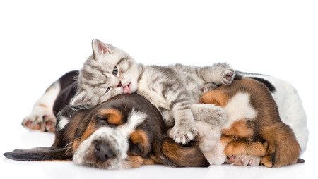 Funny kitten lying on the puppies basset hound and licks them. isolated on white background 写真素材