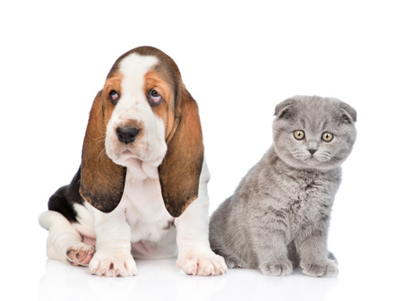 lop eared: Scottish kitten sitting with basset hound puppy. isolated on white background