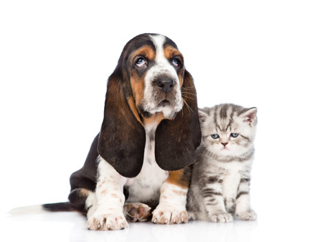 kitten: Tabby kitten sitting with basset hound puppy. isolated on white background Stock Photo