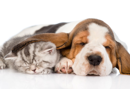 Kitten sleeping under the ear basset hound puppy. isolated on white background