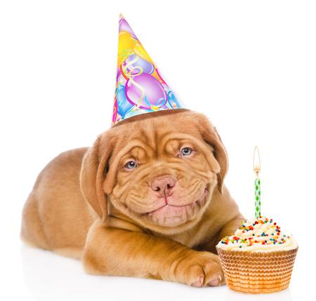 dog days: Sonriente feliz Burdeos cachorro de perro con sombrero de cumpleaños y la torta. aislado en fondo blanco