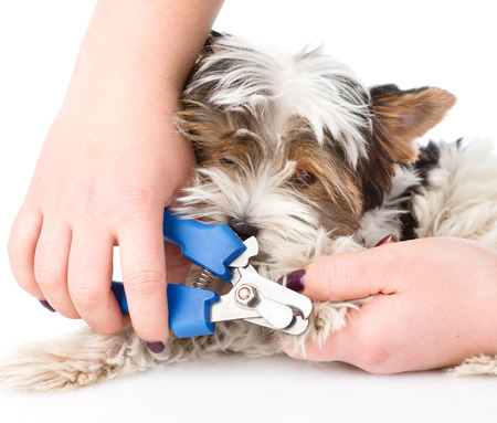 dog grooming: vet cutting dog toenails. isolated on white background Stock Photo