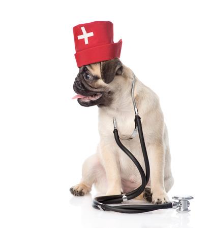 enfermera con cofia: Cachorro de perro pug con enfermeras sombrero médico y un estetoscopio en el cuello. aislado en fondo blanco