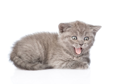 mewing: mewing  kitten. isolated on white background Stock Photo