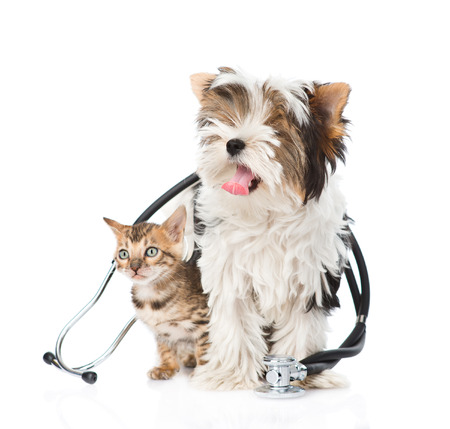 vet: Small bengal cat and Biewer-Yorkshire terrier puppy with stethoscope on their neck. isolated on white background