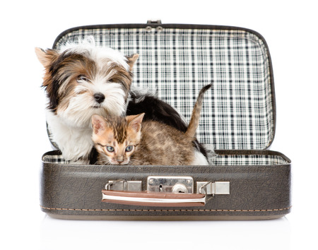 Biewer-Yorkshire terrier and bengal cat sitting in a bag. isolated on white background Stock Photo