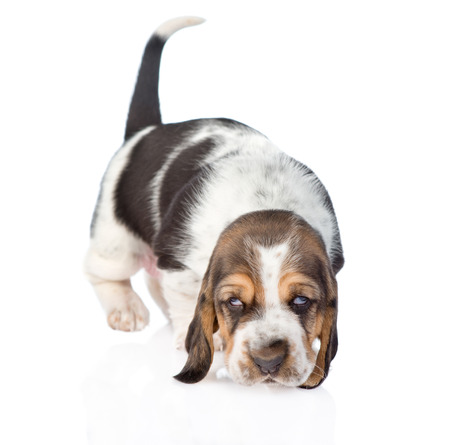 sniffing: sniffing basset hound puppy. isolated on white background Stock Photo