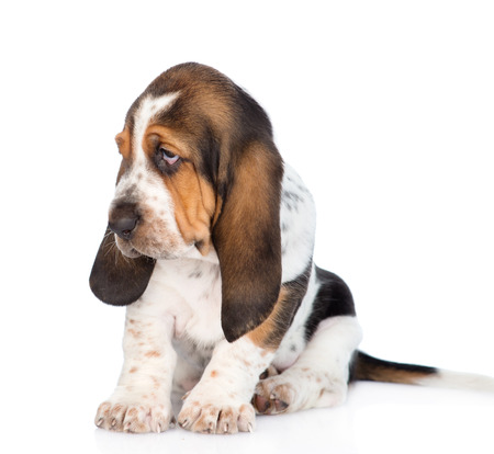 Tiny basset hound puppy looking away. isolated on white background Stock Photo